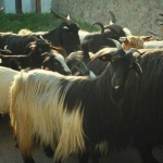 Karakachanski kozi